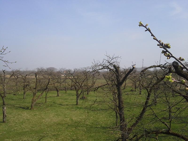 Snoei kersenboomgaard in Kesteren