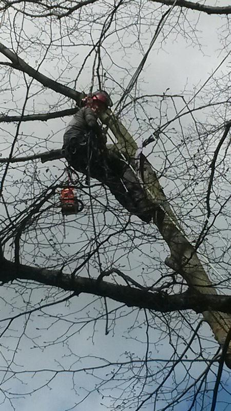 Snoeien grote lindeboom in Broek in Waterland